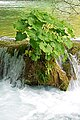Croatia-00989 - Plants grow everywhere (9453626786).jpg