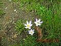 Crocus tommasinianus 89445991.jpg