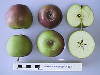 Cross section of Cravert Rouge, National Fruit Collection (acc. 1947-237).jpg