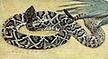 Crotalus adamanteus1.jpg