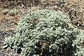 Croton setigerus kz5.jpg