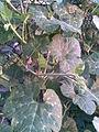 Cucurbitales - Cucurbita ficifolia 7 - 2011.07.11.jpg
