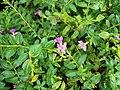 Cuphea hyssopifolia (2).jpg