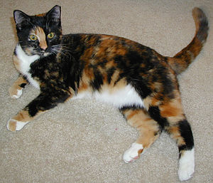 Cat coat genetics - Female tortoiseshell-and-white cat