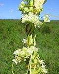 Cuscuta australis flower4 (8418554656).jpg