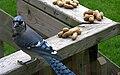 Cyanocitta cristata Blue Jay.jpg