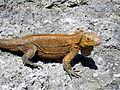 Cyclura rileyi rileyi (San Salvador rock iguana) (Green Cay, offshore from northwestern San Salvador Island, Bahamas) 1 (16038818871).jpg