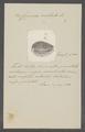Cypraea ocellata - - Print - Iconographia Zoologica - Special Collections University of Amsterdam - UBAINV0274 088 02 0052.tif