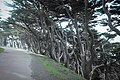 Cypress Trees, Land's End, San Francisco (8644466822).jpg