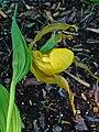 Cypripedium parviflora var. pubescens 004.JPG