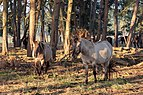 Dülmen, Merfeld, Dülmener Pferde im Merfelder Bruch -- 2018 -- 1627.jpg