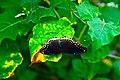 D85 5460 Butterfly from Phu Langka National Park, Thailand.jpg