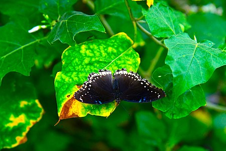 D85 5460 Butterfly from Phu Langka National Park, Thailand.jpg
