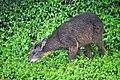 DSC09328 玉山國家公園的自然生態.發現長鬃山羊.jpg
