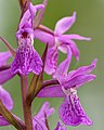Dactylorhiza russowii flowers Keila.jpg