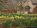 Daffodills in Ozleworth. - geograph.org.uk - 1749927.jpg
