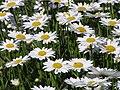 Daisies (Leucanthemum vulgare).jpg