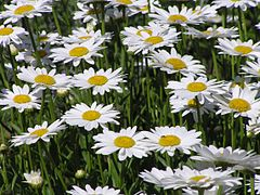 240px daisies (leucanthemum vulgare)