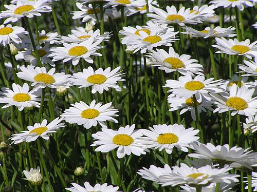 500px daisies (leucanthemum vulgare)
