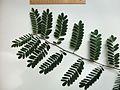 Dalbergia nigra Blätter2.jpg