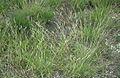 Danthonia spicata.jpg
