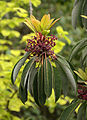 Daphniphyllum macropodum 5699.jpg