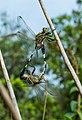 Dargonflies mating.jpg