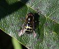 Dasysyrph.tricinctus male3.jpg