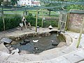 Dawlish , The Waterfowl of Dawlish Water - geograph.org.uk - 1345904.jpg