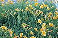 Daylilies, Portland, ME IMG 1847.JPG