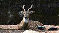 Deer from trivandrum zoo.jpg