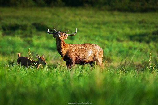 Deer in Phu Khieo Wildlife Sanctuary (9214560817)