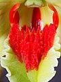 Dendrobium suzukii (lip) (41423860764).jpg