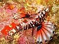 Dendrochirus zebra 1.jpg