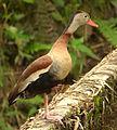 Dendrocigna autumnalis (Iguaza común) (15440324776).jpg