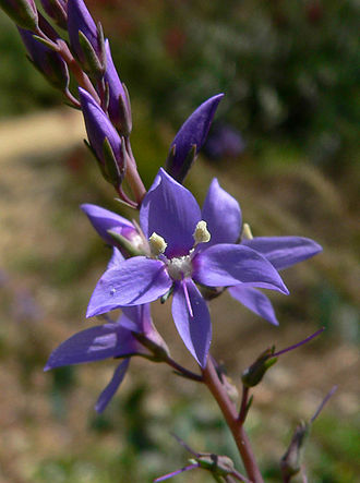 Derwentia (plant) - Derwentia perfoliata