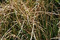 Deschampsia cespitosa Northern Lights 1zz.jpg