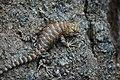 Desert Spiny Lizard. Grand Canyon, Arizona (25778637054).jpg