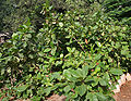 Desi Badam (Terminalia catappa) in Hyderabad, AP W IMG 0499.jpg