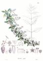 Deutzia gracilis SZ8.png