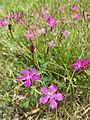 Dianthus deltoides sl4.jpg