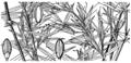 Dichanthelium dichotomum var ramulosum (as Panicum microcarpon Muhl. ex Elliott, non Muhl.) HC-1950.png