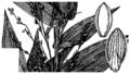 Dichanthelium latifolium (as Panicum latifolium) HC-1950.png