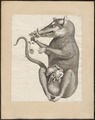 Didelphis opossum - 1700-1880 - Print - Iconographia Zoologica - Special Collections University of Amsterdam - UBA01 IZ20300088.tif