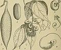 Die Natürlichen Pflanzenfamilien - nebst ihren Gattungen und wichtigeren Arten, insbesondere den Nutzpflanzen (1887-1909.) (20935683285).jpg