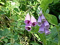 Digitalis-stora hultrum.sweden-18.jpg