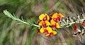 Dillwynia sericea (24997585095).jpg