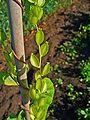 Dioscorea villosa 003.JPG