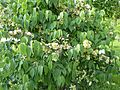 Dipelta floribunda-Jardin des Plantes-mai 2016- 01.jpg