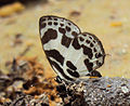 Discolampa ethion – Banded Blue Pierrot 03.JPG